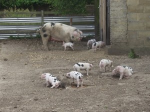 A strong litter of 12 piglets for this sow