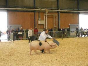 Couteney Chadd showing a Mike's Pork pig in the young handlers class