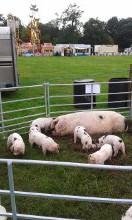 Peacehaven Piglets & mum