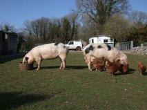 Free ranging GOS at Stephen Lawtons in Lancashire