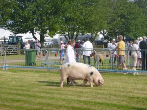 Burfords Countess at her first show walks casually around the ring